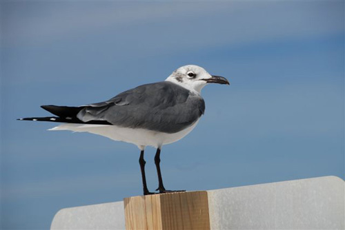 Florida Sea Gull